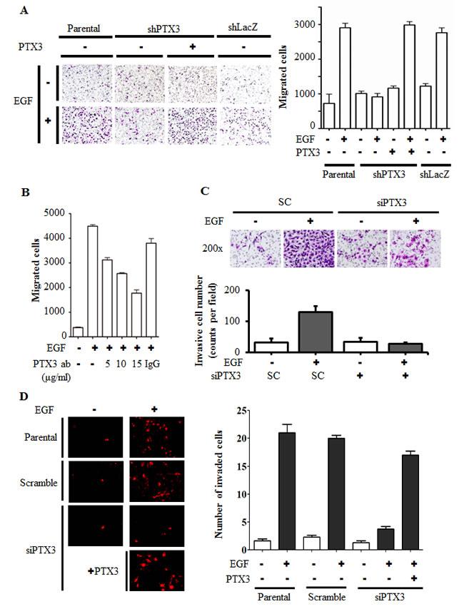 EGF-induced PTX3 enhances tumor migration and invasion.