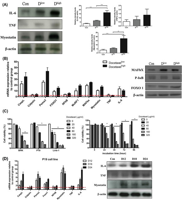 mRNA and protein levels for genes encoding cachexic factors and proteolytic relative signaling molecules in docetaxel-induced muscle atrophy