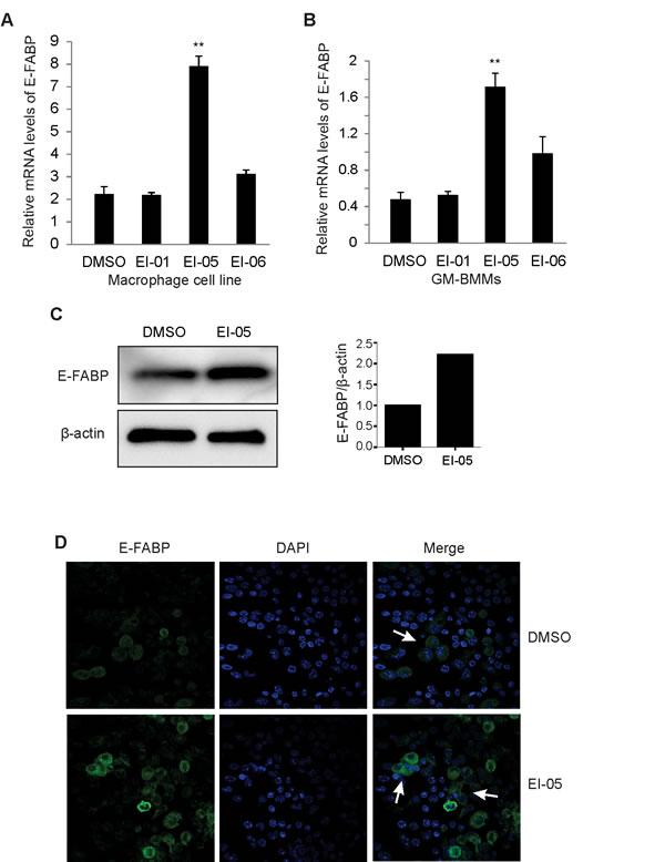 EI-05 enhances E-FABP expression in macrophages.