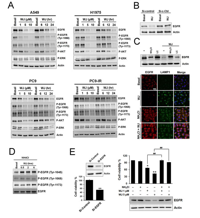 HDAC inhibitor reduced EGFR expression through c-Cbl-dependent lysosomal degradation pathway.