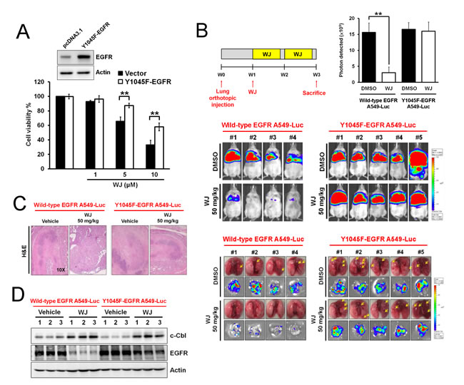 Y1045-EGFR mutation abolished HDAC inhibitor-mediated anti-tumor effect in an orthotopic lung adenocarninoma mouse model.