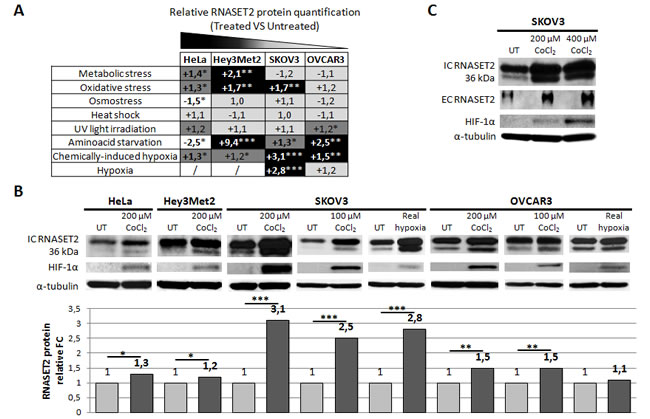 Human RNASET2 protein levels change following stress induction.