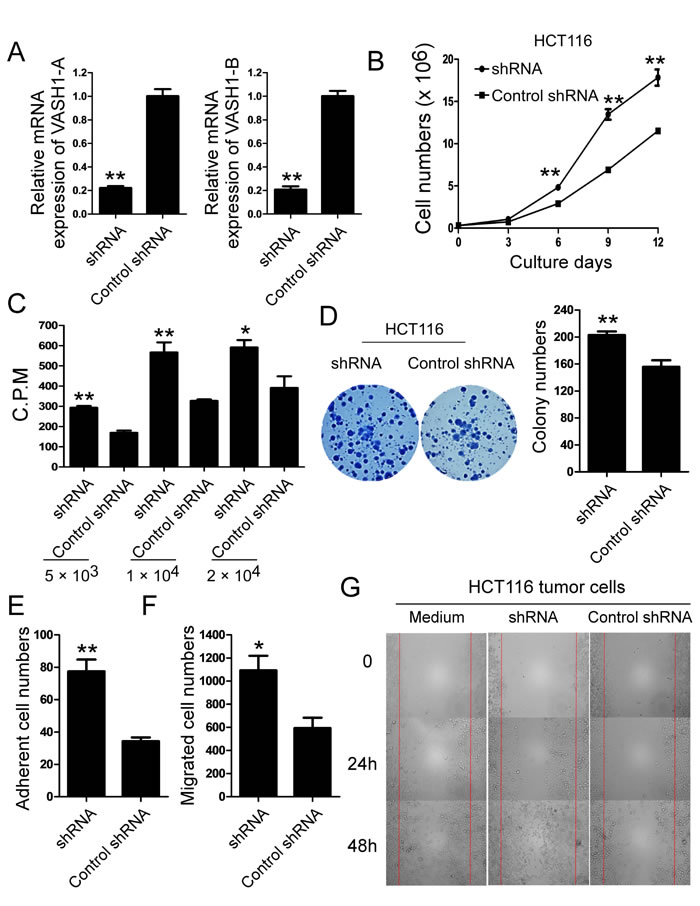Knockdown of VASH1 in colon cancer HCT116 cells promotes cancer cell growth, adhesion and migration.