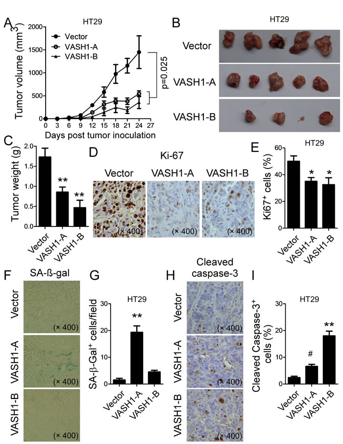 Overexpression of VASH1 in human colon cancer HT29 cells inhibited tumor growth and tumorigenesis