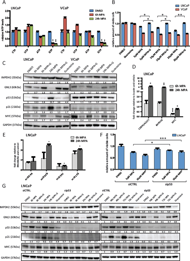 Inhibition of IMPDH2 leads to nucleolar instability, p53 activation and upregulation of MYC-targeting miRs.
