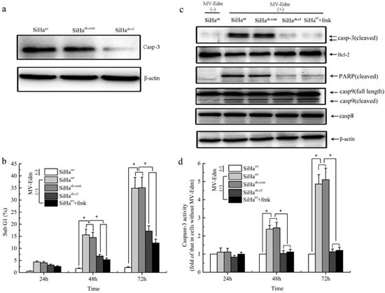 Role of Caspase-3 in the cellular apoptosis induced by MV-Edm infection in vitro.