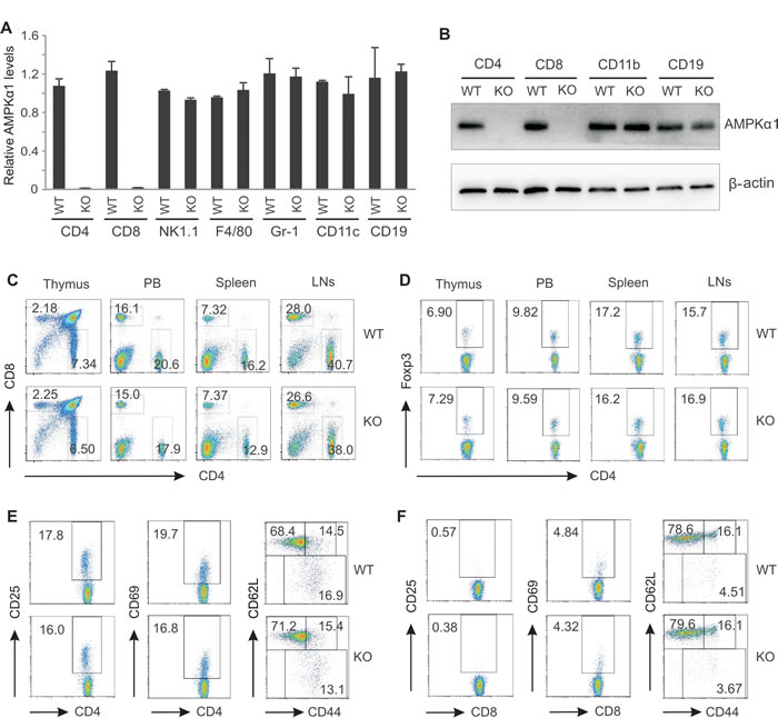 AMPKα1 deficiency has no impact on T cell development.