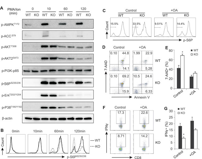 Enhanced phosphatase activity in AMPK deficient CD8