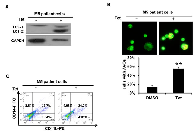 Fig.2: Tetrandrine induced autophagy and differentiation in M5 type patient primary leukemia cells.