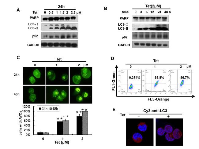 Fig.4: Tetrandrine (2 μM) induces NB4 cell autophagy.