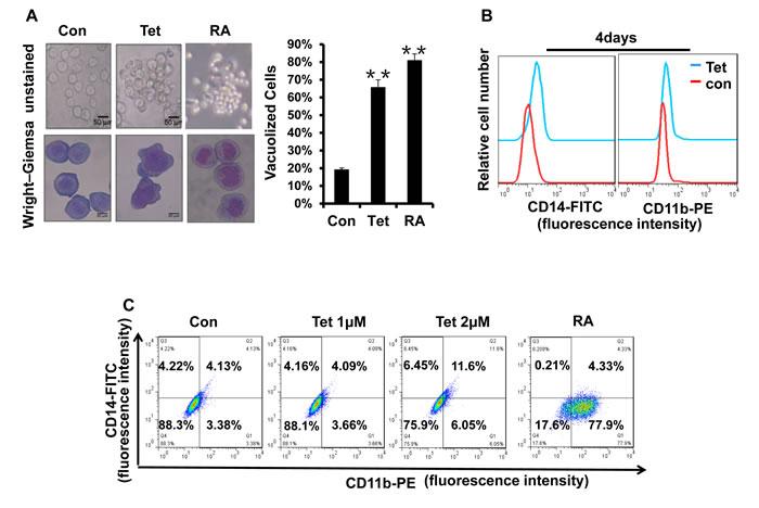 Fig.5: Tetrandrine facilitates NB4 cell differentiation.