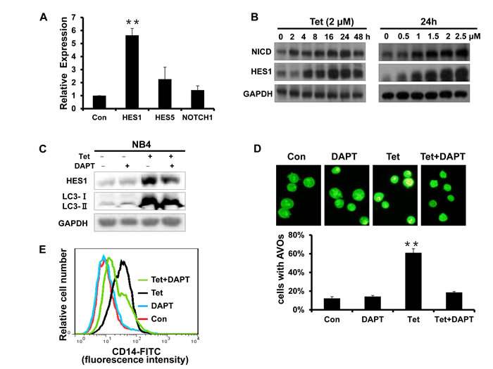 Fig.7: The activation of Notch1 signaling is involved in tetrandrine-induced NB4 cell autophagy and differentiation.