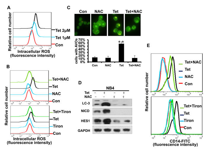 Fig.8: Intracellular ROS generation is an early event of tetrandrine-induced cell autophagy and differentiation.