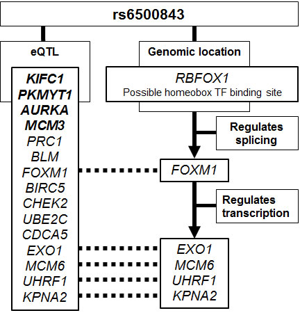 Schematic summary of the putative evidence connecting the rs6500843 SNP to the trans-eQTL SNPs associated with this locus.