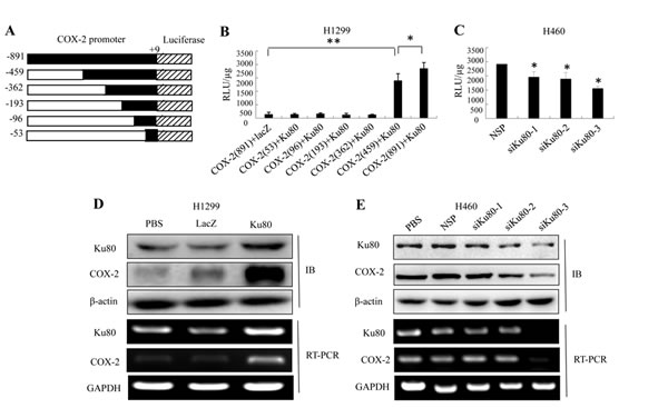 Ku80 bound to the COX-2 promoter region and regulated its transcriptional activation in lung cancer cells.