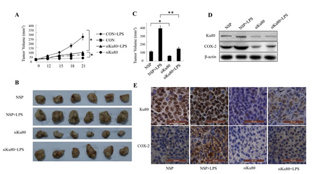 Ku80 knockdown inhibited tumor growth through down-regulating COX-2 expression in a mouse model.