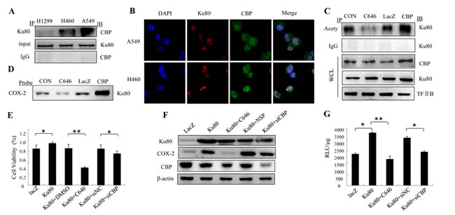 Figure7: Ku80 interacted with CBP to co-regulate COX-2 expression in lung cancer cells.