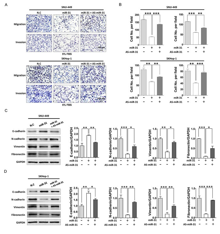 MiR-31 suppressed motility and invasion of HCC cells.