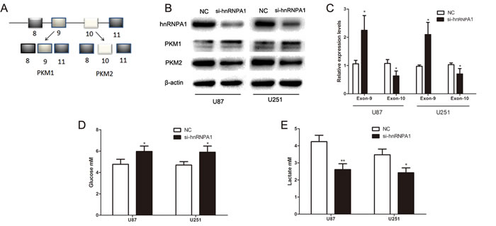 HnRNPA1 is critical for the generation of PKM2 in glioma cells.