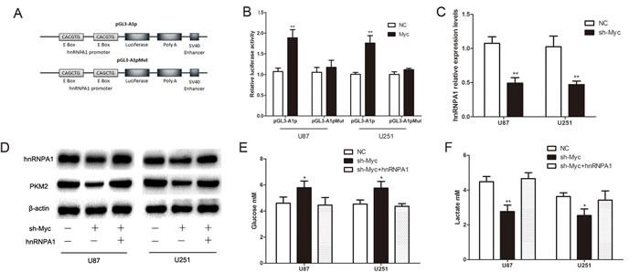 C-Myc regulates PKM2 via direct transcription of hnRNPA1 in glioma cells.