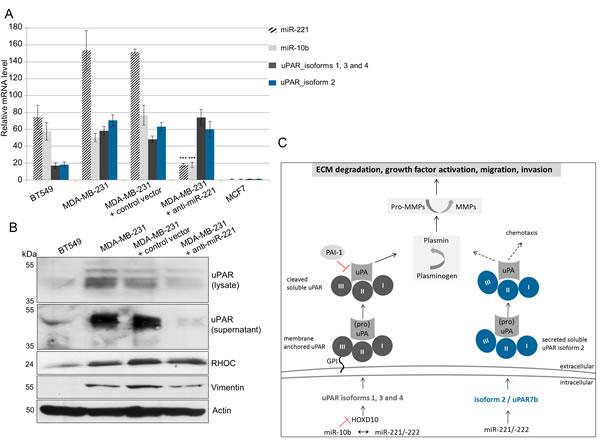 miR-221 directly regulates uPAR isoform 2 (uPAR7b) and indirectly uPAR isoforms 1, 3, 4 and miR-10b.