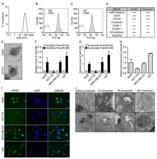 Endothelial exosomes can transfer miRNAs to tumor cells.