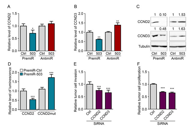 MiR-503 inhibits CCND2 and CCND3 expression of MDA-MB-231.