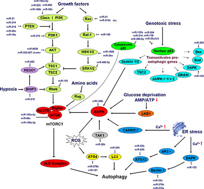 Induction and regulation of autophagy by miRNAs.