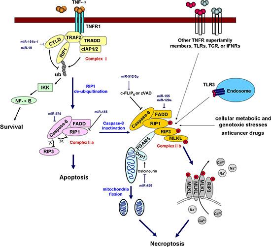 miRNAs regulate necroptosis.