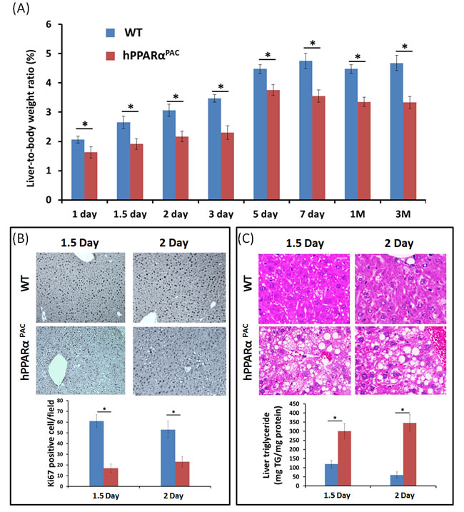PH-induced liver growth is suppressed in hPPARα