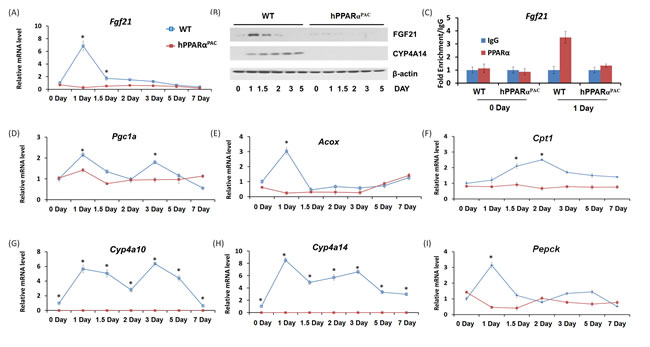 The induction of PPARα target FGF21 is diminished in PPARα-humanized mice after PH.