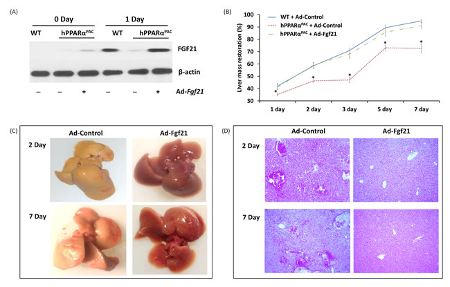 Adenoviral delivery of Fgf21 reversed the impaired liver regeneration in hPPARα