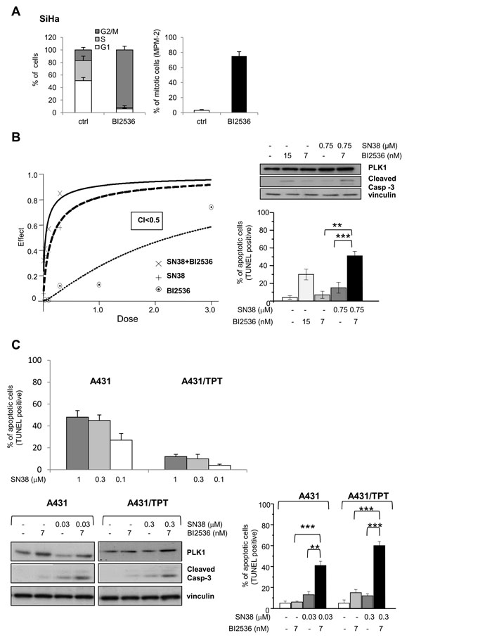 Synergistic antiproliferative effect and enhanced apoptotic response by combination treatment of SN38 with BI2536 in SCC cell lines.