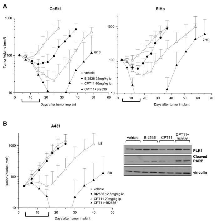 Enhancement of antitumor efficacy against SCC xenografts by combined treatment of CPT11 with BI2536.