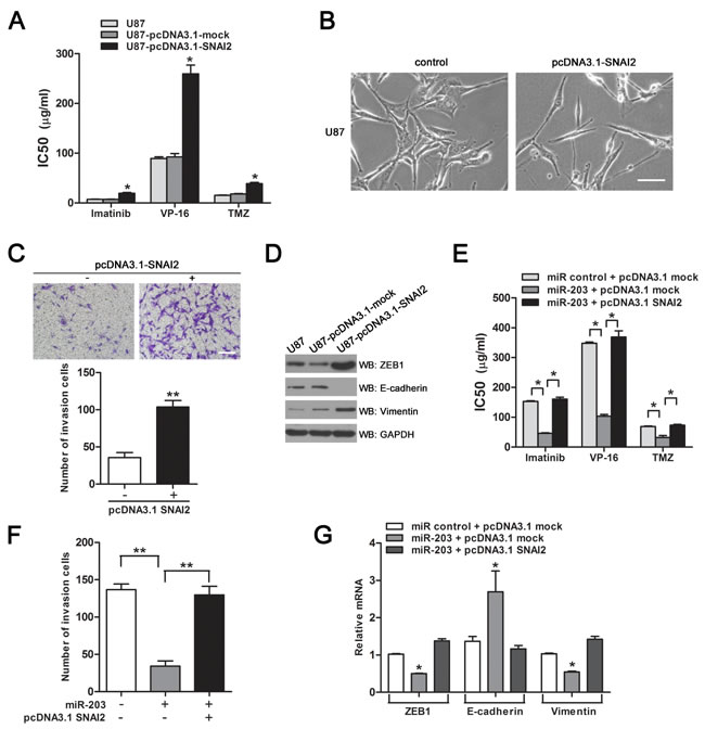 SNAI2 contributes to chemoresistance and EMT in GBM cells.