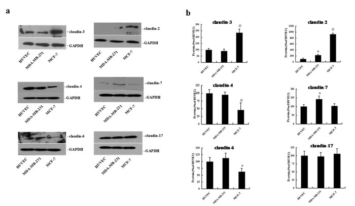 Expression of claudin-2, -3, -4, -6, -7, and -17 proteins in HUVEC, MDA-MB-231, and MCF-7 cells.