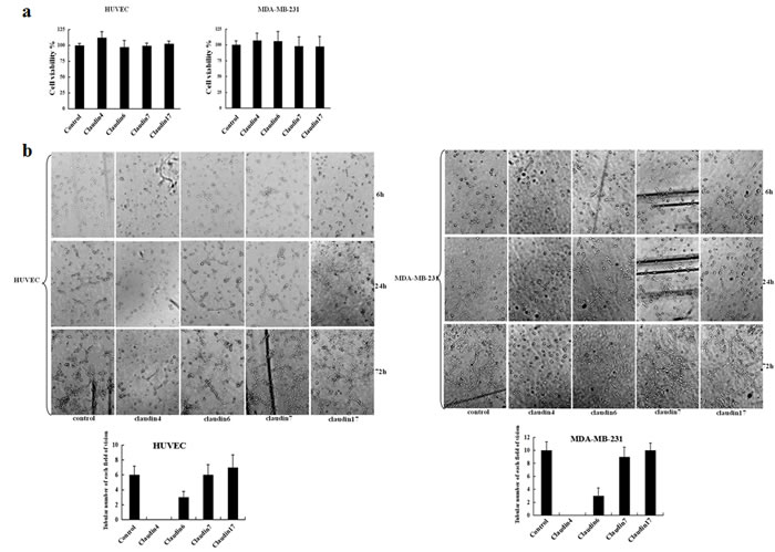 Effects of claudin blocking antibodies on cell proliferation, morphology, and tubule formation.