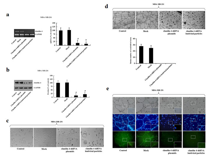Analysis of vascular channel formation following stable transfection of MDA-MB-231 cells with claudin-4-specific shRNA plasmids or lentiviral particles.