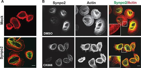 Synpo2 promotes Arp2/3-dependent lamellipodia formation.