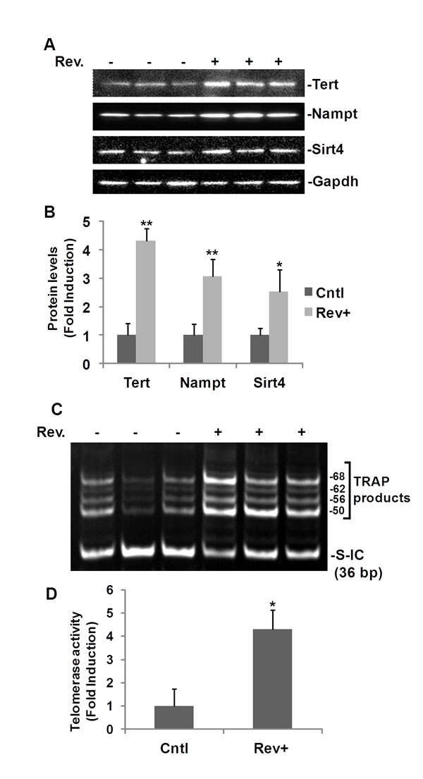 Fig.6: Resveratrol-induced TERT and telomerase activity in mouse heart.
