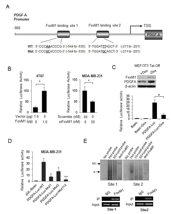 PDGF-A is a direct transcriptional target of FoxM1.