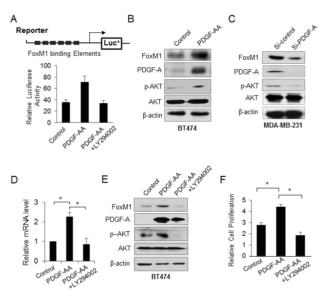 FoxM1 is activated by PDGF/AKT signaling pathway.