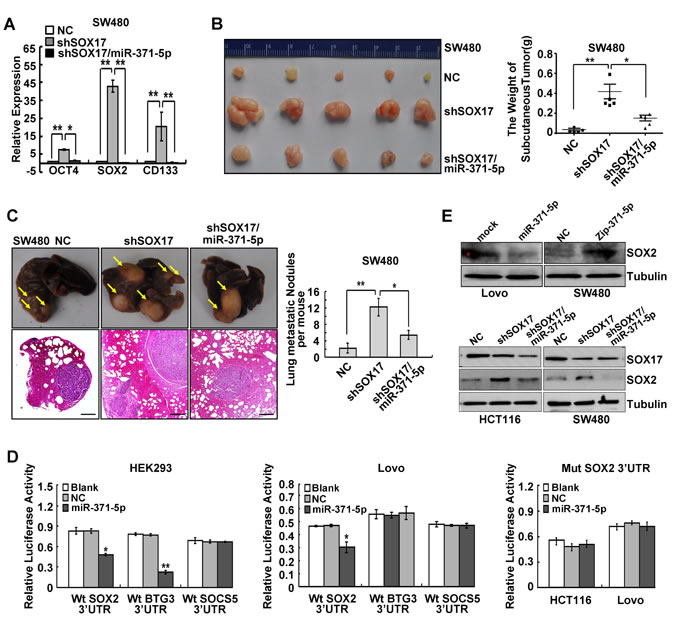 SOX17 is sufficient to suppress stemness and metastasis of CRC cells by regulating miR-371-5p and SOX2 is a direct target of miR-371-5p.