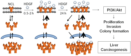 Hypothetical model for HDGF-induced NCL membrane trafficking from cytoplasm (in 0.5–2 hours), NCL upregulation (in 24 hours), activation of PI3K/Akt pathway and oncogenic behaviours of hepatoma cells, which ultimately contributes to liver carcinogenesis.