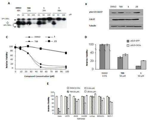 Compound 1 is a cell-potent CK2 inhibitor and decreases cell viability in a CK2 dependent manner. A.