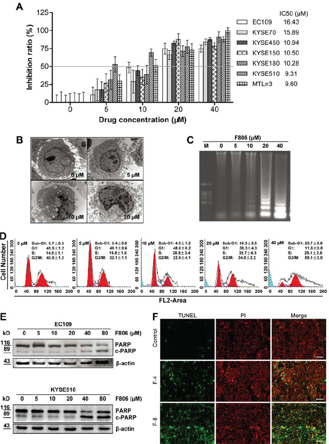 F806 inhibits growth and induces apoptosis in ESCC cells.