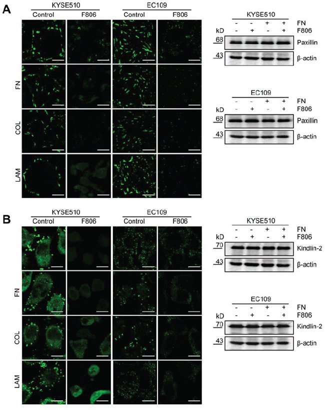F806 inhibits focal adhesion formation in ESCC cells.