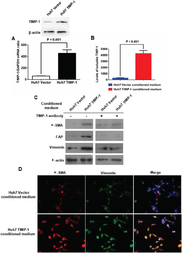Enforced expression of TIMP-1 in Huh7 cells activated the transformation from LFs to CAFs.