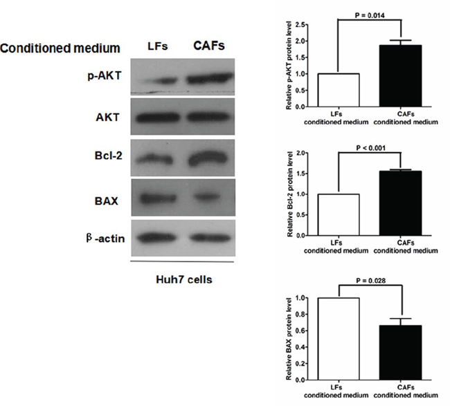 CAFs lead to greater AKT phosphorylation and an increased Bcl-2/BAX ratio in Huh7 cells.