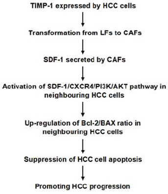Working model of the mechanism by which TIMP-1 promotes HCC progression by initiating CAFs in the tumor microenvironment.